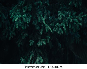 Beautiful coniferous tree, christmas tree, winter time, evergreen tree.