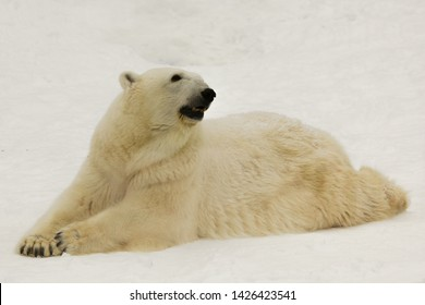 A beautiful and contented large arctic polar bear rests (lies) in the snow in the winter amid snow.