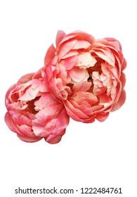 Beautiful 'Coral Charm' Peony flowers isolated on white background