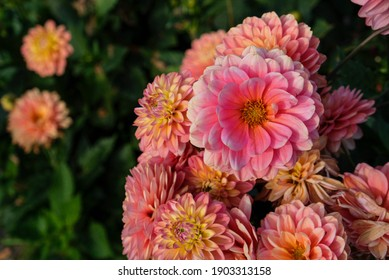 Beautiful coral pink dahlia flowers in full bloom in the garden, close up. Natural floral background.