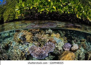 "A beautiful coral reef grows along the edge of a blue water mangrove forest Raja Ampat, Indonesia. This biodiverse region is known as the ""heart of the Coral Triangle"" due to its amazing marine life."
