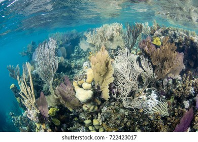 A beautiful coral reef grows in the shallows along the edge of the Blue Hole inside Lighthouse Reef in Belize. The area supports a wide, diverse variety of marine life.