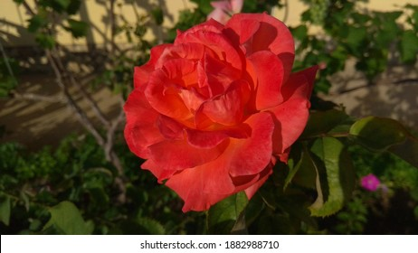 Beautiful, coral-red rose flower against a flowerbed in the morning sunlight. Close-up of a flamboyant, reddish orange rose against a garden bed along a paved walkway.