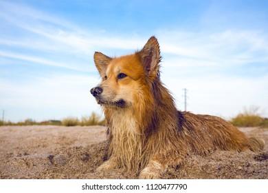 beautiful corgi fluffy portrait outdoor