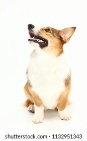 Beautiful corgi puppy in studio.