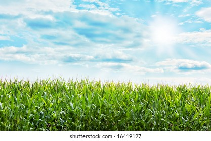 Beautiful Corn plants field with a nice blue pastel sky