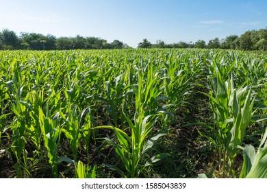 Beautiful cornfields on blue sky background