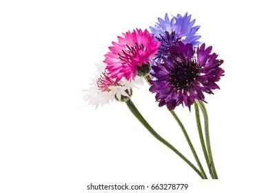 Beautiful cornflower isolated on white background