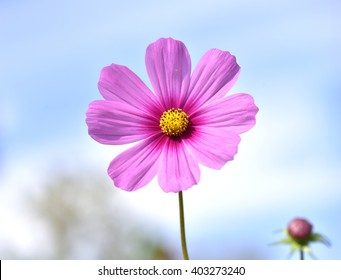 White and pink cosmo flower images stock photos vectors beautiful cosmo flower on blue sky mightylinksfo