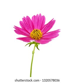 beautiful cosmos bipinnatus flower isolated on white