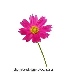 beautiful cosmos bipinnatus flower isolated on white background