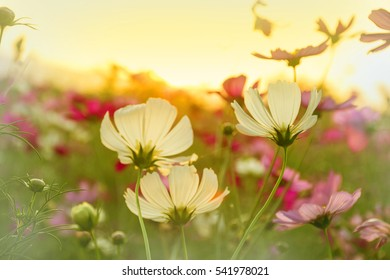 Beautiful cosmos blooming in sunset blur background