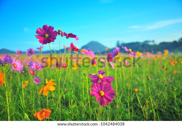 Beautiful Cosmos Field in Summer