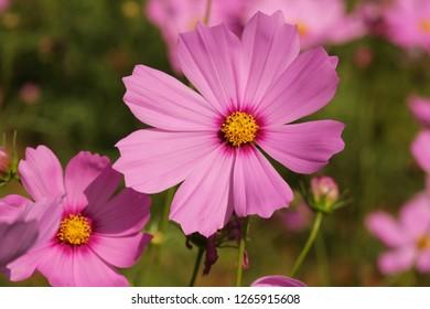 Beautiful Cosmos Flower.