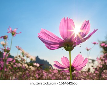 a beautiful cosmos flower in the blue sky