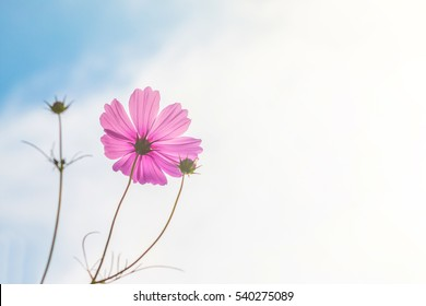 Beautiful cosmos flower with blue sky background