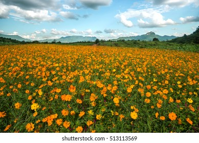 The beautiful Cosmos flower in field by mountain and blue sky is background on sunshine day Phetchabun Thailand.