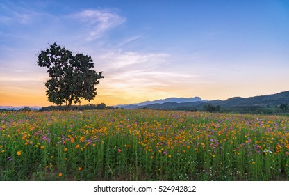 Beautiful Cosmos Flower Field in the Park with Sunset.