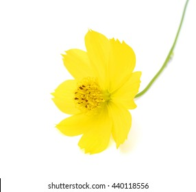 beautiful cosmos Flower isolated on white background