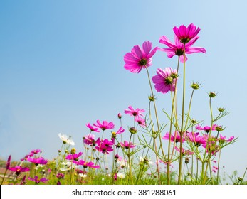 beautiful cosmos flower on the blue sky background