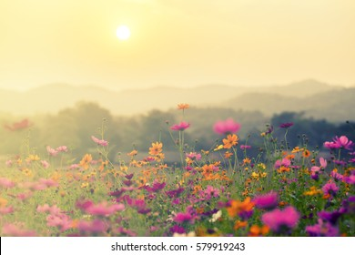 A beautiful cosmos flower in sunset background.