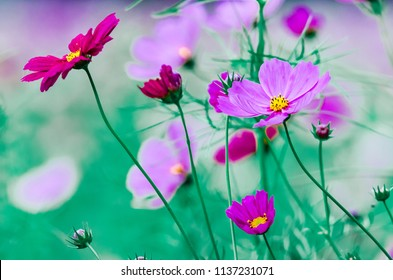 Beautiful cosmos flowera blooming in the garden style vintage tone for backgriund