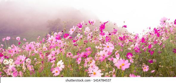 Beautiful cosmos flowers blooming in garden