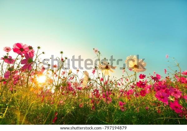 Красивые цветы космоса цветущие в саду