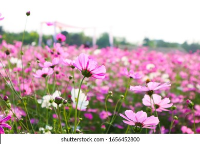 Beautiful Cosmos flowers blooming in the morning.