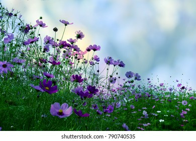 Beautiful cosmos flowers blooming in nature on white background