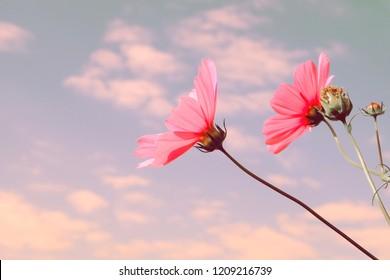 Beautiful cosmos flowers in garden.