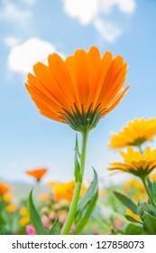 Beautiful Cosmos flowers in garden