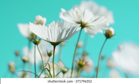 Beautiful cosmos flowers in garden.Soft focus and focus only the selected point.