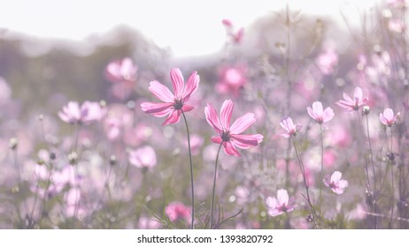 Beautiful Cosmos flowers in nature, sweet background, blurry flower background, light pink and deep pink cosmos.