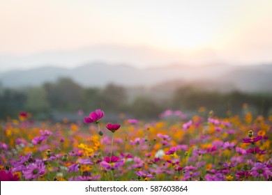 Beautiful cosmos flowers in sunset time.
