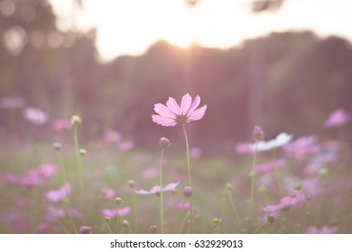 beautiful cosmos flowers, vintage tone background, soft focus