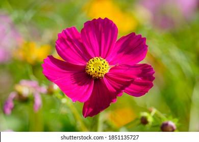 Beautiful cosmos flowers(Cosmos Bipinnatus) in the garden - Shutterstock ID 1851135727