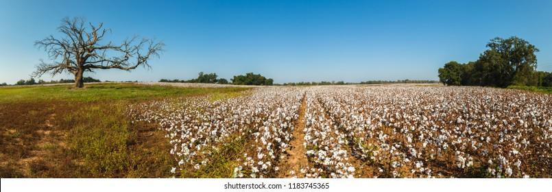 Beautiful cotton field in Alabama.
