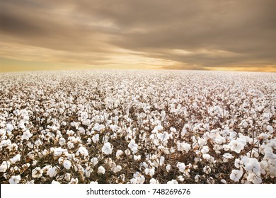 Beautiful Cotton Field in Texas with morning Sunrise