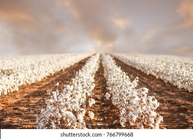 Beautiful Cotton Fields from West Texas