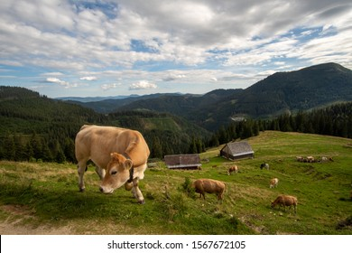 beautiful cow beside the hiking route in styria