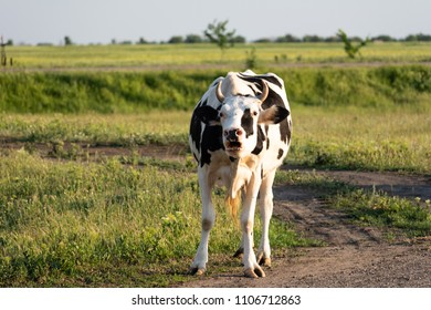 A beautiful cow in black and white spots moans at sunset