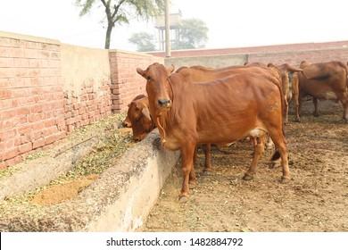 Goat Pakistan Images, Stock Photos & Vectors | Shutterstock