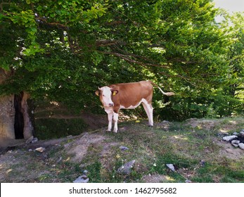 beautiful cow in a mountain landscape , cow who came to drink water from the river to the mountain
