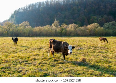 a beautiful cow on a pasture in the high mountains of a warm spring day on the background of birches