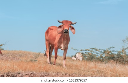 beautiful cow photo,A cow eats grass in the meadow,cow top view