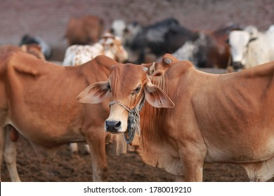 Beautiful cow is standing for sale in the market for the sacrifice feast of Eid