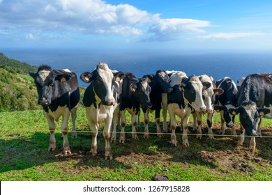 Beautiful Cows in the hill, Açores