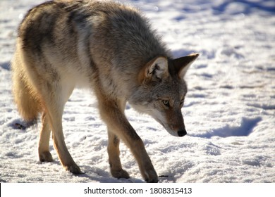 A Beautiful Coyote on the Hunt