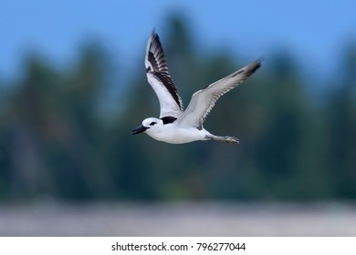 Beautiful of Crab-plover ( Dromas ardeola ) Bird. Flying in real nature southern of Thailand